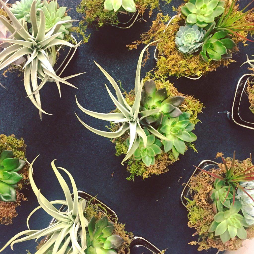 Air Plants Echeveria